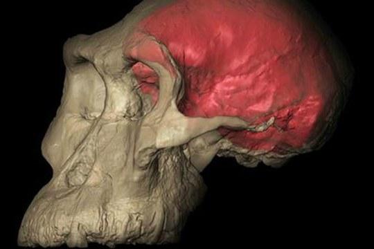 Ha 3,8 milioni di anni il primo cranio fossile   del più antico degli Australopitechi
